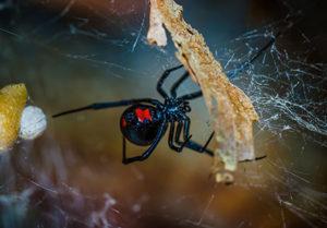 7 Most Common Dangerous Spiders in Utah   Utah Pest Control
