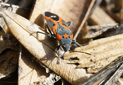 Boxelder Bugs In Utah Facts And How To Control An Infestation Of